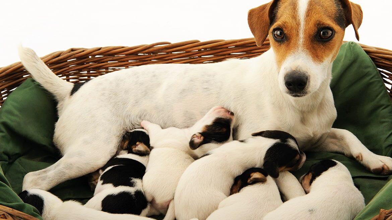 Köpek Yavrularının Gelişiminde İlk 8 Haftanın Önemi